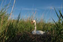 Female Mute Swan Brooding Its ...