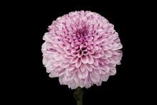 Chrysantheme Lila
