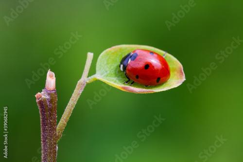 Fotomural ladybug on a leaf