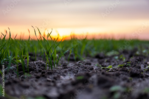 Close up young green wheat seedlings growing in a soil on a field in a sunset Tapéta, Fotótapéta