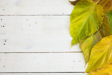 Mulberry Tree Leaves On The White Old Wooden Background. Autumn Colors. Space For Copy Text.