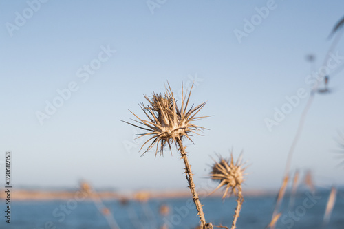 A closeup of dry thistles in Ayia Napa coast in Cyprus, blue sky and sea blurred Fototapet