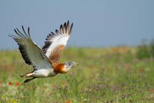 Great Bustard Flying Over A Me...