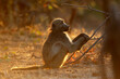 canvas print picture - Backlit chacma baboon (Papio ursinus), Kruger National Park, South Africa.