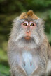 canvas print picture - Portrait of a Balinese long-tailed monkey (Macaca fascicularis), Ubud, Bali, Indonesia.