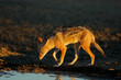 canvas print picture - Black-backed jackal (Canis mesomelas) in early morning light, Kalahari desert, South Africa.