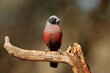 canvas print picture - A small black-faced waxbill (Estrilda erythronotos) perched on a branch, South Africa.