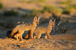 canvas print picture - Cape foxes (Vulpes chama) at their den in early morning light, Kalahari desert, South Africa.