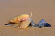 canvas print picture - Plough snail (Bulliua digitalis), a species of sea snail, predating on a blue bottle, South Africa .