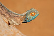 canvas print picture - Portrait of a ground agama (Agama aculeata) sitting on a rock against a blue sky, South Africa.