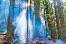Forest With Green Mist Pine Trees And Sun Goes Through Foggy Trees