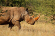 canvas print picture Portrait of a white rhinoceros (Ceratotherium simum) in natural habitat, South Africa.