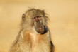 canvas print picture - Portrait of a young chacma baboon (Papio ursinus), Kruger National Park, South Africa.