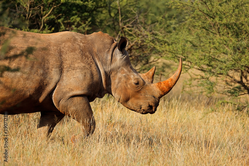 canvas print motiv - EcoView : Portrait of a white rhinoceros (Ceratotherium simum) in natural habitat, South Africa.