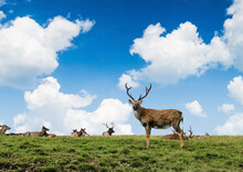 Deer's Lying On Grass And One Deer Stands Beautifully With Blue Sky Background, Sunny Day In Nature Of Russia