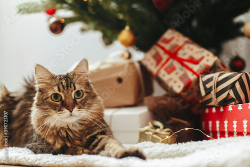 Fototapeta Adorable Maine Coon cat sitting at wrapped gift boxes under christmas tree