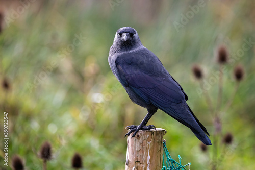 Close up side view of Jackdaw perched on wooden post with head looking into came Wallpaper Mural