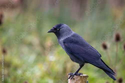 Close up side view of Jackdaw perched on wooden post Canvas Print