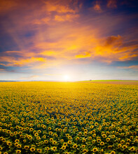Majestic Scene Of Vivid Yellow...