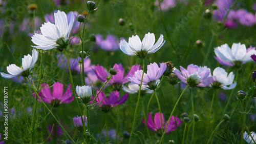 Slika na platnu Field with cosmos flowers