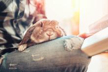 A Gray Cute Lop-eared Rabbit S...