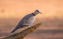 A Cape Turtle-dove Isolated Pe...