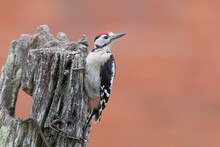 Greater Spotted Woodpecker Per...