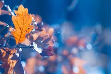 Closeup  Oak Tree Branch With ...