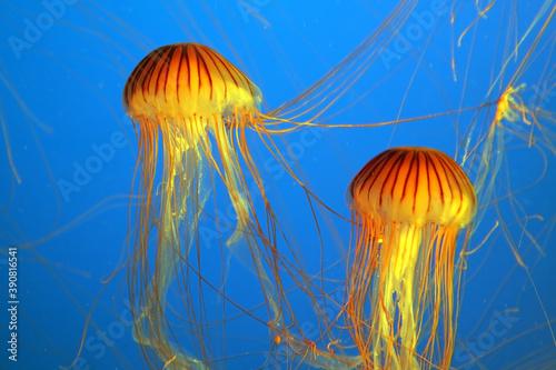 Two yellow-orange jellyfish Fototapet