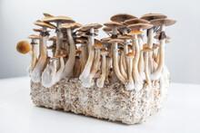 Psychedelic Magic Mushrooms Grow Psilocybe