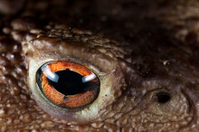 Portrait Of A Common Toad (Buf...