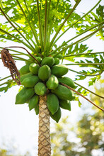 Papayas Growing On Tree (portrait)