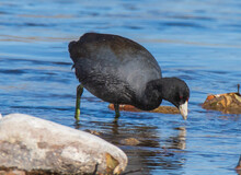 American Coot In The Water