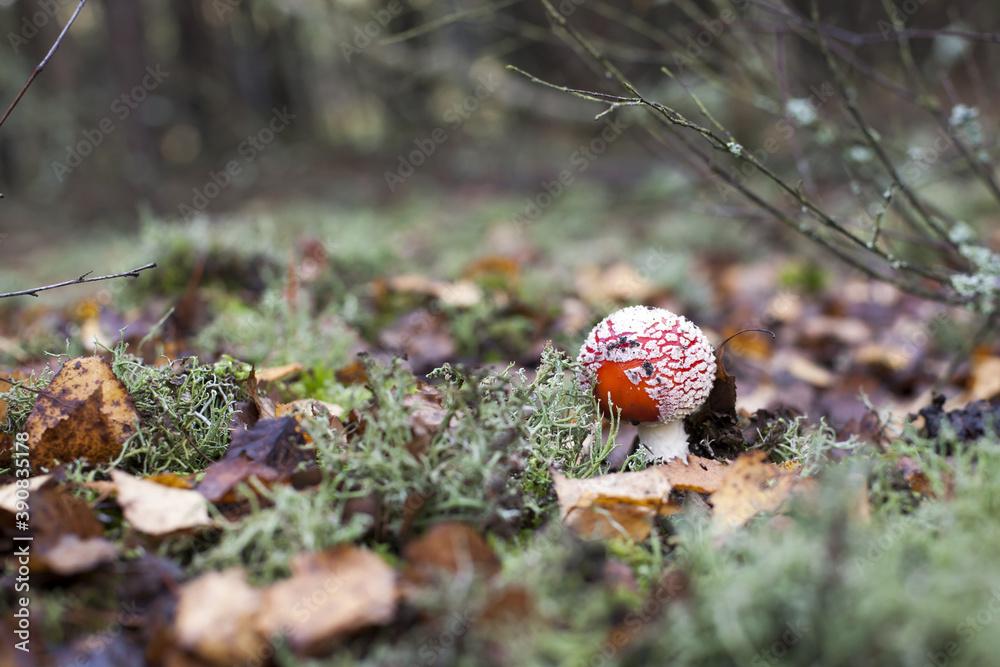 Fototapeta mały piękny niejadalny i trujący muchomor czerwony