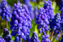 Close Up Of Blue Hyacinth