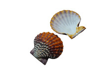 Scallop Shells Isolated On Whi...