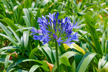A Picture Of A Beautiful Flower With Purple And Blue Tonalities And Green Plants Behind. Photo Taken At Midday With Zoom Lens.