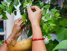 Hands Of Indian Woman Wearing Red Bangle Plucking White Jasmine Flowers From Plant In Home Garden.traditional Flower Basket Made Of Brass.