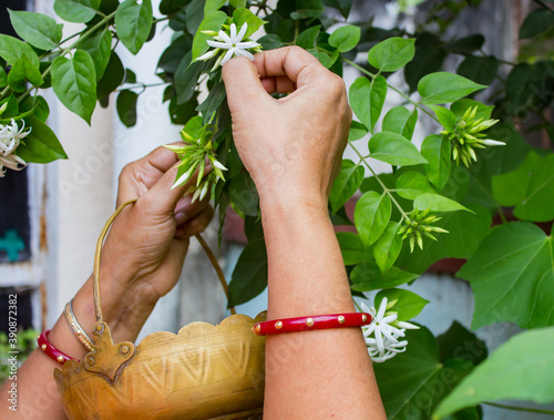 Fotografie, Obraz hands of indian woman wearing red bangle plucking white jasmine flowers from plant in home garden