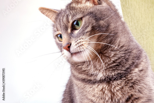 Playfull fluffy cat  looks around herself Fototapeta