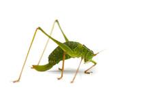 Macro Of A Grasshopper Isolate...