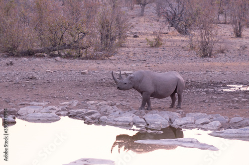 Fotografering A rhino at water hole
