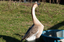 The African Goose In A Farm In...
