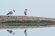 Black-headed Gulls On The Seas...