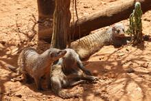 Closeup Shot Of Mongooses
