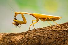 The Golden Praying Mantis