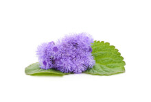 Ageratum Blue With Leaves.