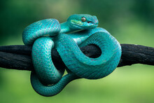 The Blue Insularis Pit Viper Snake