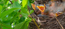 Bird Nest With Young Birds - E...