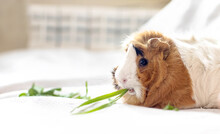 Guinea Pig Is Eating Grass. Blade Of Grass Sticks Out Of Pet's Mouth. Feeding Animals With Fresh Grass And Natural Products.